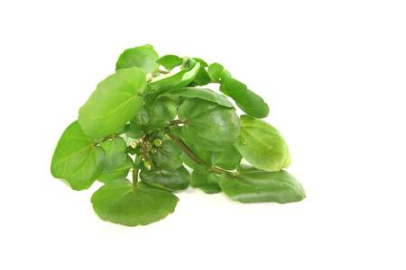 a sprig of fresh watercress on white background photo