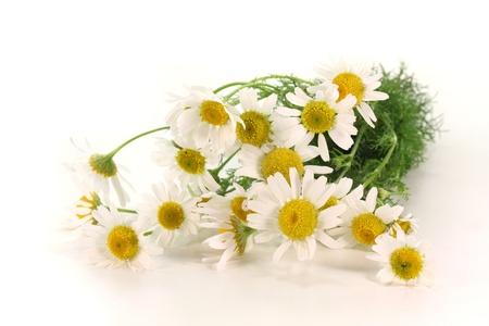 matricaria recutita: un bouquet di fiori di camomilla fresco su sfondo bianco Archivio Fotografico