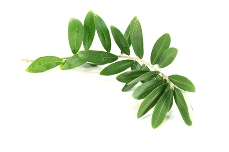 olive branch: fresh green olive branch on a white background