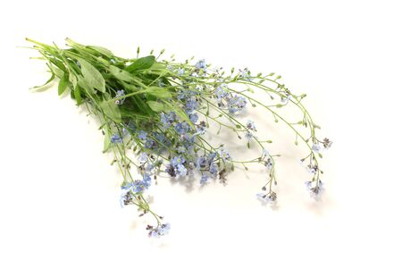 plantaginaceae: fresh speedwell with flowers and leaves on a bright background Stock Photo