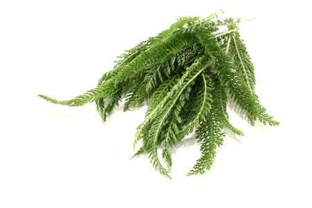 milfoil: green Yarrow with leaves on a bright background