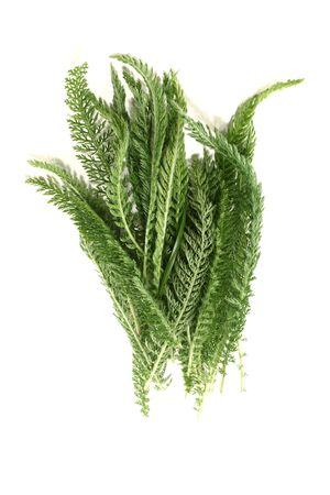 fresh Yarrow with leaves on a bright background Stock Photo - 13718008