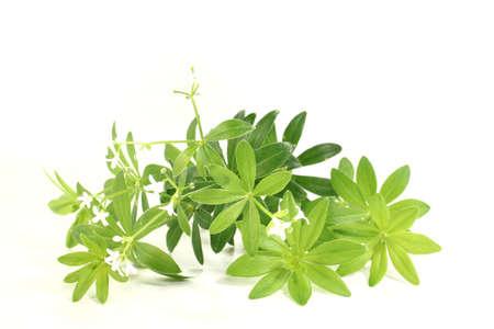 sweet woodruff: fresh green sweet woodruff with flowers on a bright background