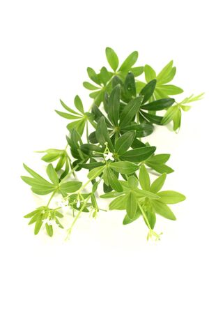 sweet woodruff: fresh green sweet woodruff with blossoms and leaves on a bright background