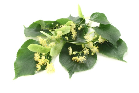 fresh linden blossoms with green leaves on a light background