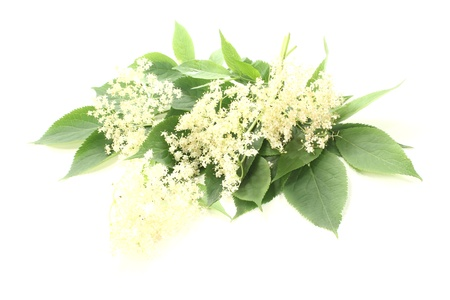 umbel: fresh elderflowers with green leaves against a bright background