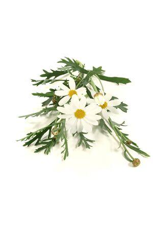 marguerites: fresh white Marguerites on a bright background