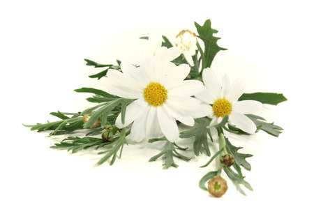 marguerites: fresh Marguerites with leaves on a bright background