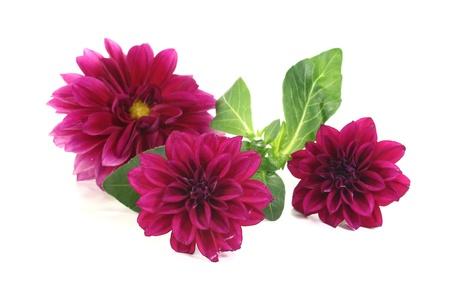 dalia: frescas de color rojo vino, dalias pequeñas sobre un fondo brillante