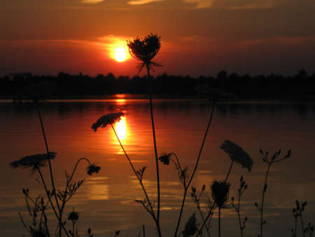 queen anne   s lace: Sunset in the evening with wild carrot on a bay