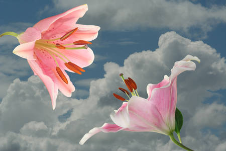 encounter: Encounter, pink lilies before a sky with clouds