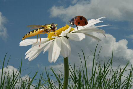 encounter: Encounter a hoverfly and a ladybug on a Magarithe