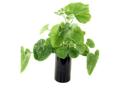 white blossom: green wasabi leaves with blossoms on a bright background
