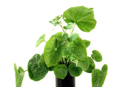 asian flavors: fresh green wasabi leaves with white blossoms on a bright background