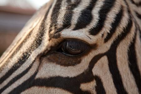 Close-up of zebra eye, selective focus on eye  photo