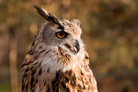 Brown owl portrait in wild nature  photo