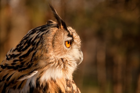 Profile view of brown owl portrait in wild nature  photo