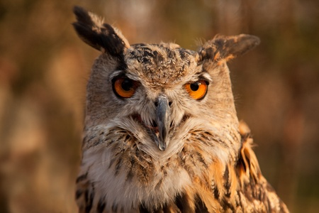 Great horned owl in wild nature  photo