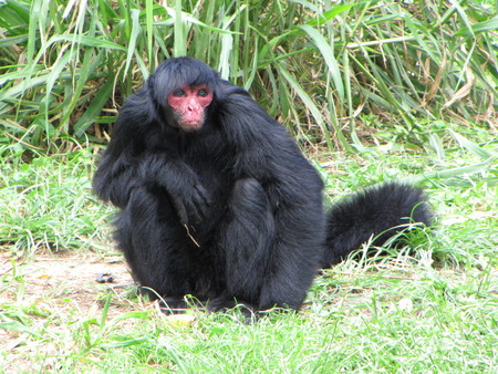 suriname: spider monkey Suriname