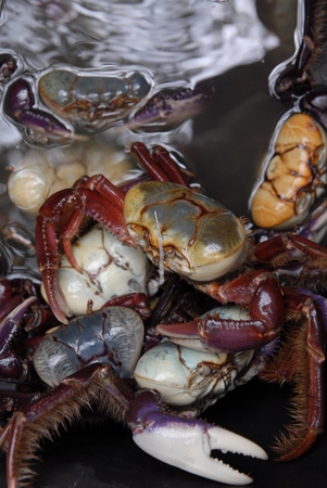 without legs: Blue crab Suriname