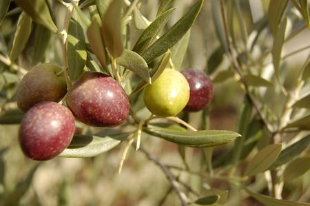 olives between olive�s branches Stock Photo