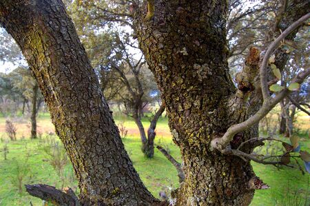outbreaks: Outbreaks or quercus ilex  Stock Photo