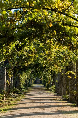 shady: Pathway through grapevine in a pergola arch