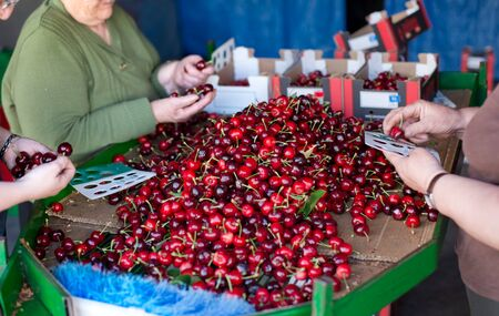 extremadura: Women selecting fresh and ripe cherries by his caliber in Valle del Jerte, Extremadura. Spain.