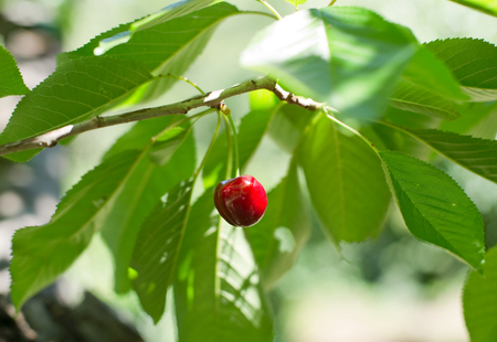 cherrytree: Ecological fresh sweet ripe cherry from Valle del Jerte in Spain, in cherry-tree. Stock Photo