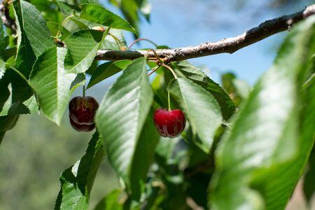 cherrytree: Ecological fresh sweet ripe cherries from Valle del Jerte in Spain, in cherry-tree. Stock Photo