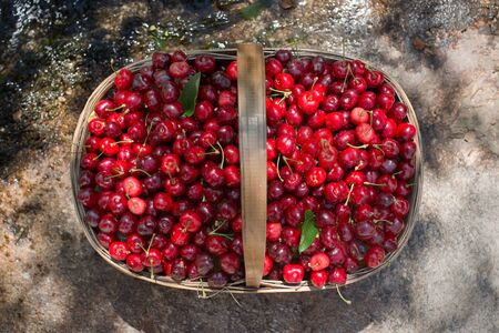 the basket: Ecological fresh sweet ripe cherries from Valle del Jerte in Spain, in a wicker basket. Stock Photo