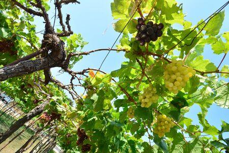 vinery: Grapesvines