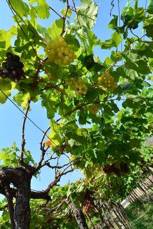 vinery: Vinery Stock Photo