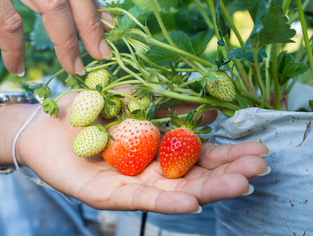 Young women  harvested Astors fresh in the garden.