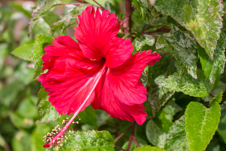 Red hibiscus flowers in bloom on the tree.