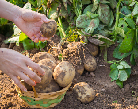 rooting: The hands are harvesting organic potatoes freshly into a wooden basket. Stock Photo