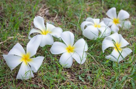 Frangipani flowers on green grass background