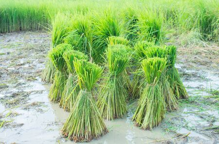 Rice seedlings in the rainy season, they were soaked in water and mud to prepare for planting.