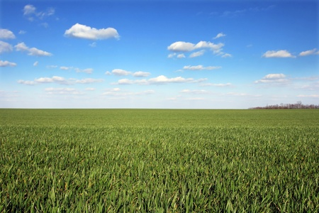 View of plain field of green wheat with blue sky and white clouds
