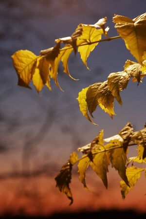 Yellow leaves in autumn at sunset