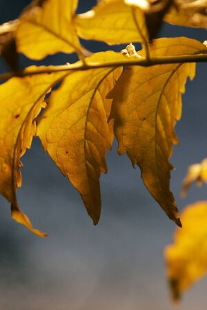 Close up of yellow leafs in autumn at sunset