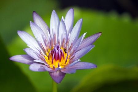 Close up of purple lotus blossom