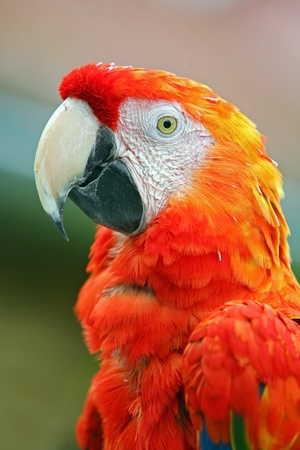 Macaw colorate