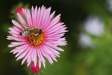 One aster flower with bee  Stock Photo