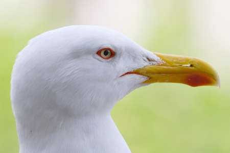 Head shoot of seagull