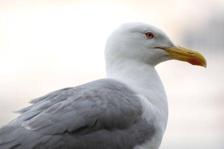 Close up of seagull looking at camera