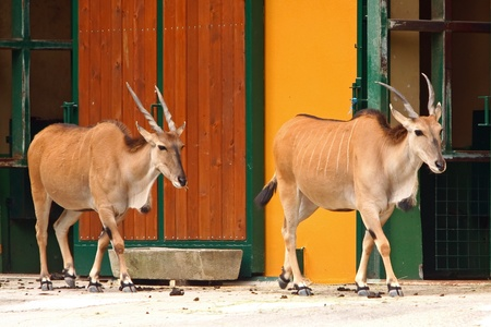 Two Eland Antelope in the zoo. Eland antelope (Oryx Taurotragus scientific name) can grow up to 3 m and weighs 900 kg. Living up to 25 years. This antelope in nature lives in parts of south Africa.