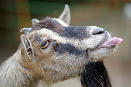 goat head: Portrait of Goat that is in cage of zoo and loll tongue that is looking funny. Stock Photo