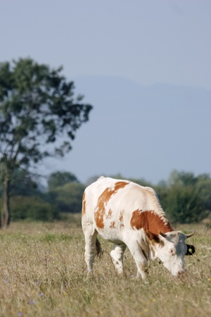 White cow with brown spot dots eating dry grass on the meadow photo