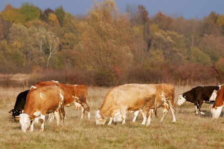 Colorful white, brown and black cows in the heard on meadow with forest in the background, lighted with beautiful reddish sunset light. photo
